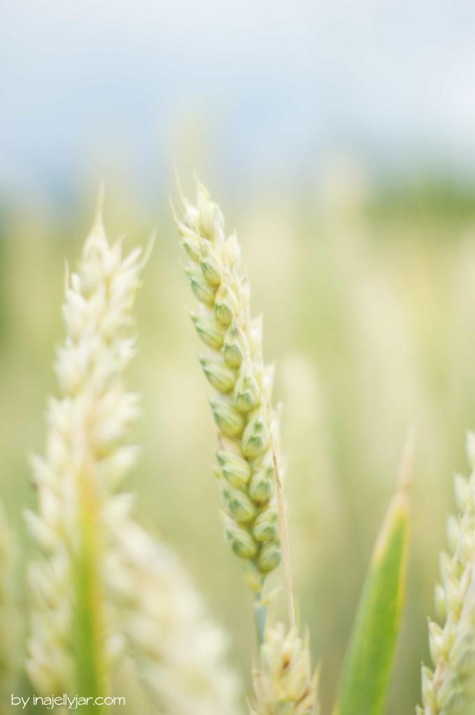 Getreideähren im Norden Sloweniens