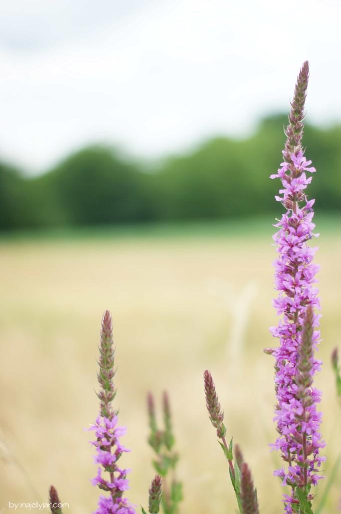 Blühende Pflanzen säumen die Weizenfelder in Prekmurje, Slowenien